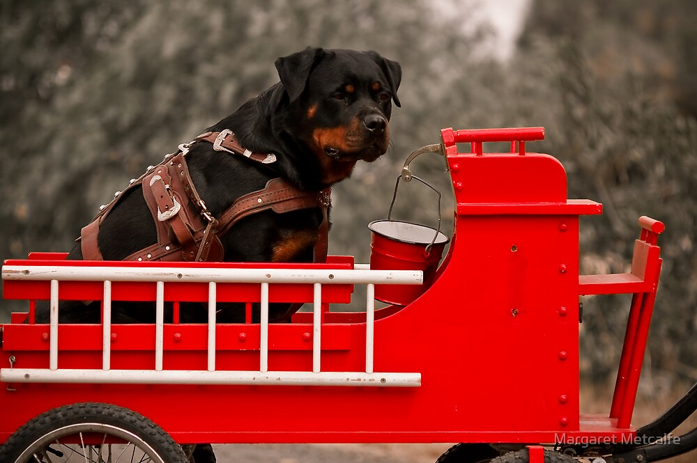 Rottweiler carting 2009 by Margaret Metcalfe