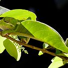 Chameleon 1 by David Clarke