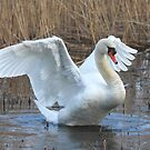Wetland Swan by SWEEPER
