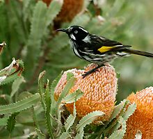 New Holland Honeyeater by Neil Swenser