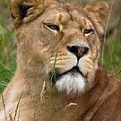Lioness by HelenBeresford