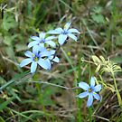 Blue-eyed Grass by May Lattanzio