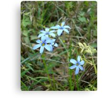 Blue-eyed Grass Canvas Print