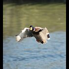 Mallard Duck Flying by davesphotographics