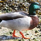 Mallard by Neil Ludford