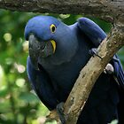 Hyacinth Macaw by CRYROLFE
