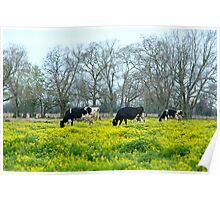 Cows in Spring Poster