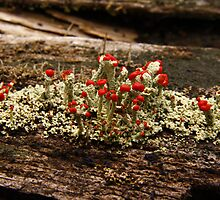 What Is It? Solved by CynLynn,  British Soliders Lichens by BigD