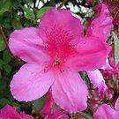 Pink Burst by MichelleR