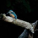 Kingfisher Juvenile - River Avon by Sarah-fiona Helme