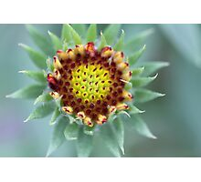 Close up of Indian Blanket Flower Photographic Print