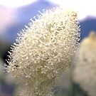 Bear Grass by Robert Yone