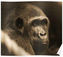 Female West Lowland Gorilla Poster