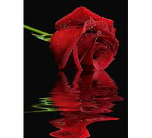 Radiant Rose Reflected Photographic Print