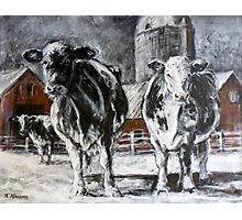 Black and White Cows Photographic Print
