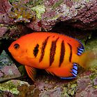 Flame Angelfish by Andrew Trevor-Jones