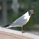 Laughing Gull by Virginia N. Fred