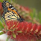 Monarch in Red by Donna Adamski