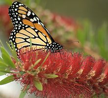 Monarch in Red by Donna Adamski
