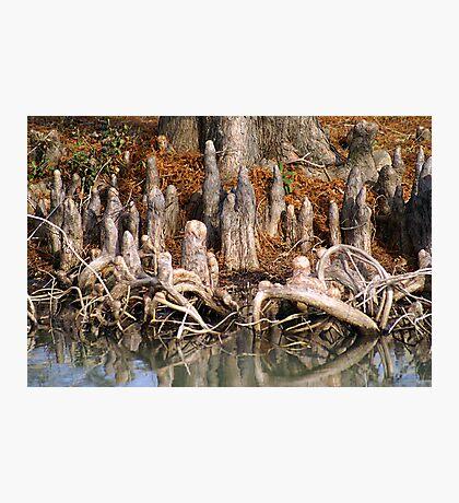 Cypress Knees Photographic Print