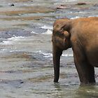 Sri Lankan Elephant bathing in a river by daytona235