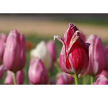 The Tulips are dying Photographic Print