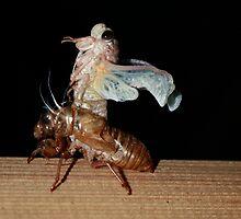 Molting Cicada by Scott Rowling