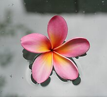 Floating Frangipani by Steve E