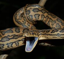 Coastal Carpet Python by NickBlake