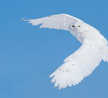 Hunting Snowy Owl by MIRCEA COSTINA