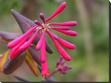 Trumpet Honeysuckle - Buds of Coral Woodbine by taiche