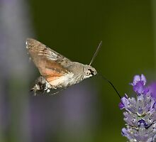 Humming Bird Moth 1 by David Clarke