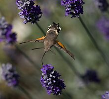 Humming Bird Moth 2 by David Clarke