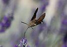 Humming Bird Moth 3 by David Clarke