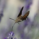 Humming Bird Moth 3 by David Clarke