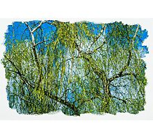 Birch tree - Spring is in the air Photographic Print