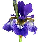 Purple Iris on a white background by naffarts