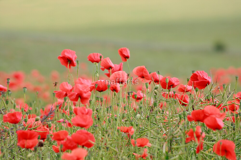 Field of Red Poppies by naffarts