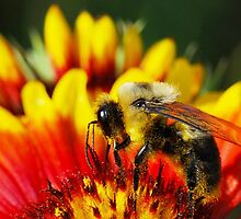 Bee on Gaillardia by Nancy Barrett