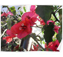 Bouganvillea Flower Poster