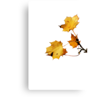 Last Golden Autum leaves Canvas Print