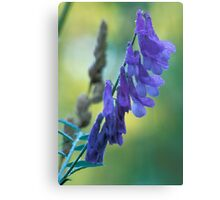 Dew Covered Wild Lupine Canvas Print