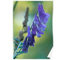 Dew Covered Wild Lupine Poster