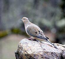 Morning Dove by SKNickel