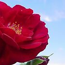 Red Rose in the Sky by sternbergimages
