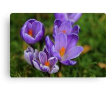 Purple Spring Crocuses Canvas Print