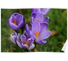 Purple Spring Crocuses Poster