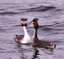 Two Great Crested Grebe by Jennie Anderson