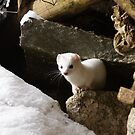 White Weasel by tayja