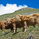 Highland cattle all in a row by GrahamCSmith